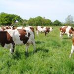 Vaches de réforme Montbéliardes au pâturage