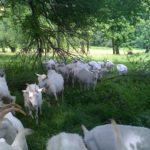 chèvres à l'ombre