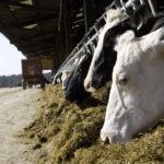 vaches à l'auge