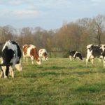 toupeaux de vaches laitières croisées