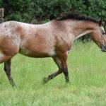 cheval appaloosa au trot dans une pature