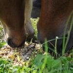 chevaux d'elevage mangeant une ration de concentres