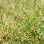 herbe graminées