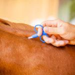 identification cheval pose transpondeur