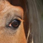 oeil de poney haflinger