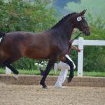 présentation cheval en main concours modele et allures