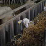 Agnelle laitière de race Lacaune