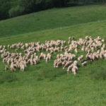 Brebis laitières de race Lacaune
