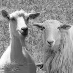 Facebook brebis et chèvre
