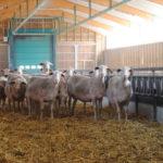 Brebis laitières de race Lacaune en gestation