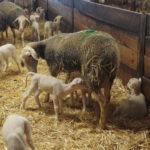 Brebis laitière de race Lacaune en phase d'allaitement des agneaux