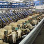 Brebis laitières de race Basco-béarnaise en traite