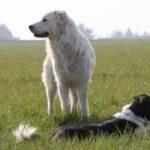 chiens et OL