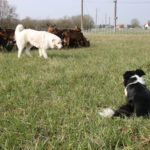 chiens et chèvres