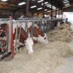 Finir ses vaches laitières à l'auge