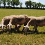 Brebis laitières de race Lacaune au pâturage