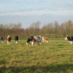 vaches croisées