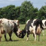 Holstein ou normande ?