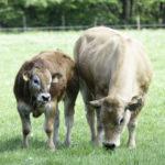 Vache allaitante et veau aubrac