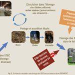 STEC en élevage caprin